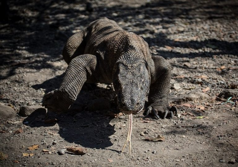 The Komodo dragon is the largest living lizard in the world