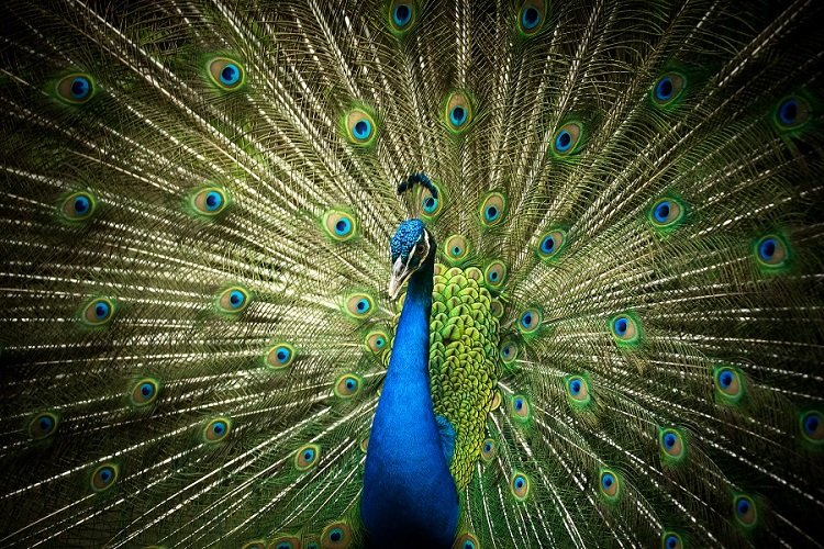 The Peacock of Indonesia, also known as the Merak Bird and often called the peafowl, is a very large and colourful bird.